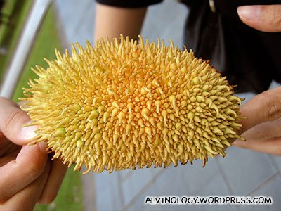 What is this durian-like fruit? - Alvinology