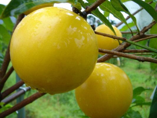 Strange, tasty fruit (黄晶果) from a Bukit Timah garden