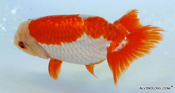 Osukaa Gold Fish Farm's Tosai Ranchu Show - Alvinology