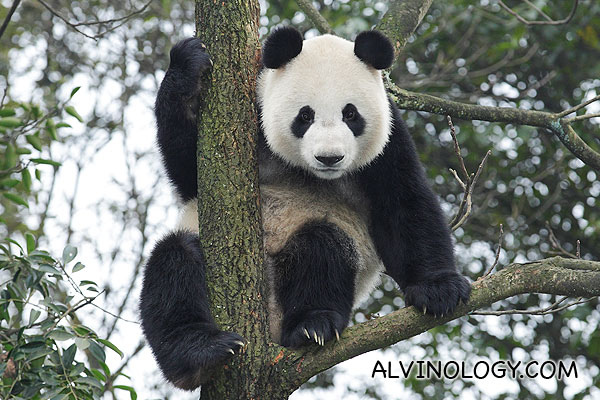 Giant Pandas Arriving in Singapore on 6 September 2012 - Alvinology