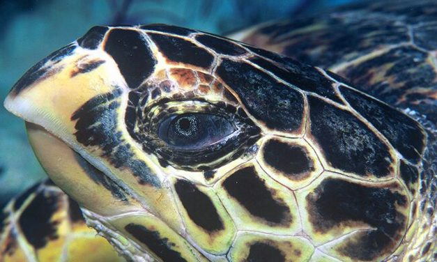Critically endangered Hawksbill Turtle hatch 100 eggs on Sentosa's Tanjong Beach; SDC asking guests to help secure other nests