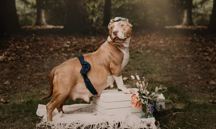 This 2-year-old pit bull was once homeless, now she's a model
