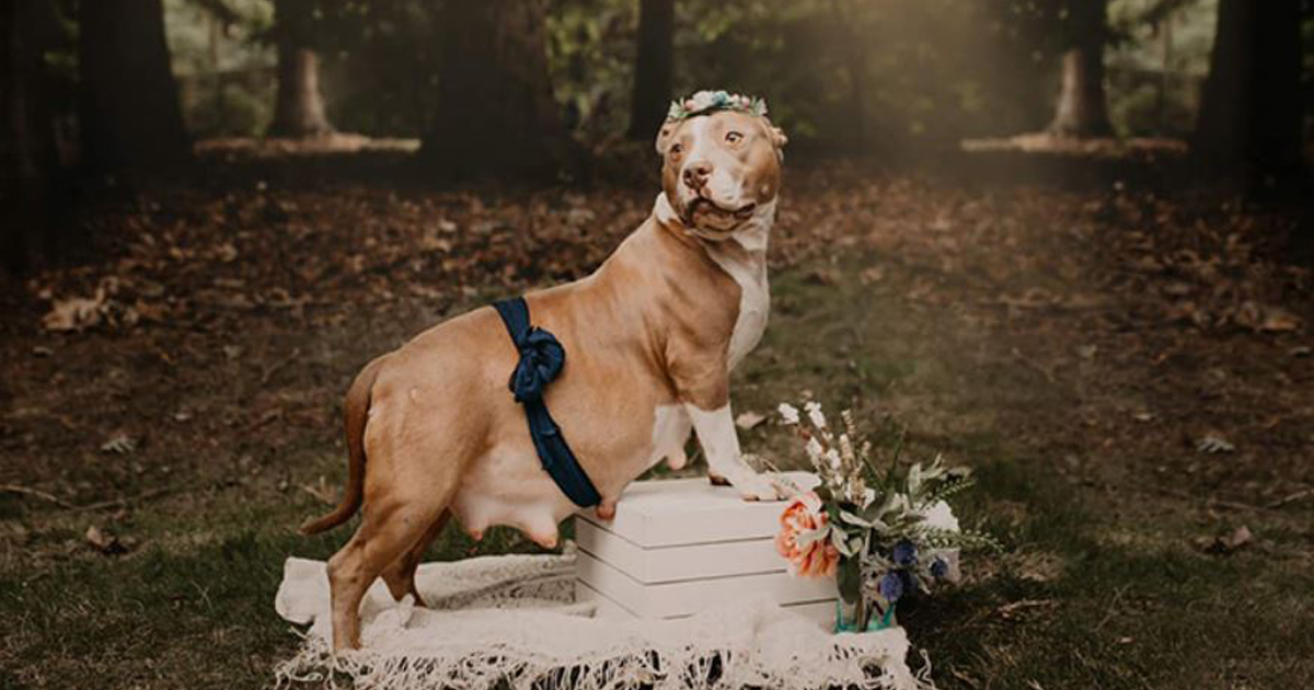 This 2-year-old pit bull was once homeless, now she's a model - Alvinology