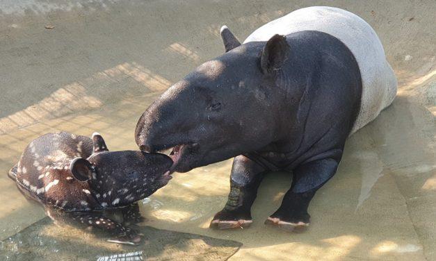 This baby tapir is the 31st Malayan Tapir born at Night Safari Singapore