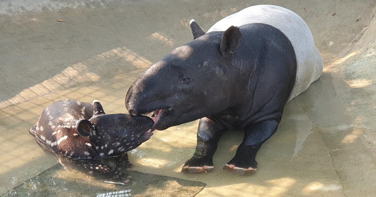 This baby tapir is the 31st Malayan Tapir born at Night Safari Singapore - Alvinology