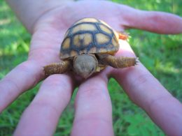Pet thief guilty of stealing $2.50 Tortoise from 'friend' during CB - Alvinology