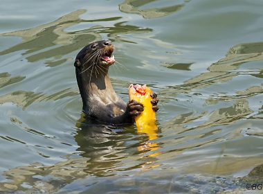 10 times we saw Otters living their best life in Singapore - Alvinology