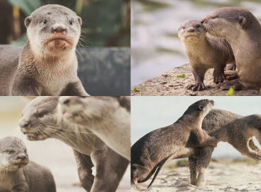 The Pasir Ris Otter Family in Photos, Captured over 5 years - Alvinology