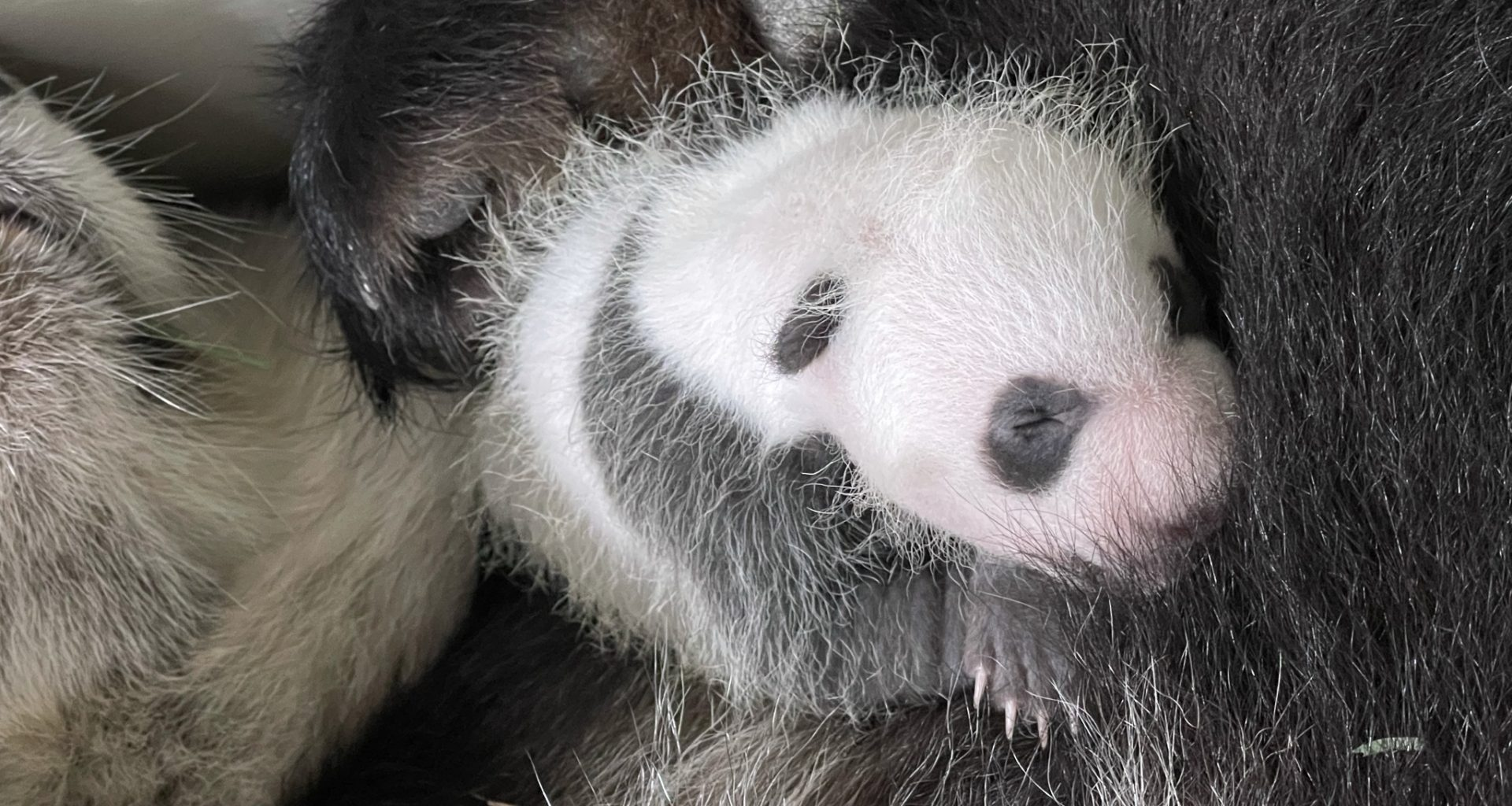 Singapore's first Giant Panda Cub is a Boy! You can now participate in naming the #littleone before he turns 100 days old - Alvinology