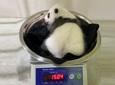 Singapore's first giant panda cub has grown into a healthy 1504g on his first weigh-in - Alvinology
