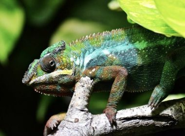 Feed Your Chameleon the Right Way- Chameleon Diet Guide - Alvinology