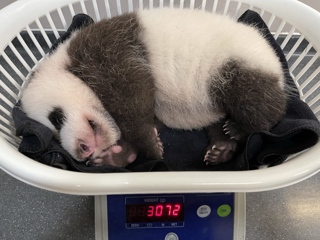 Singapore's Giant Panda Cub will be chomping on bamboo soon with six baby teeth already out - Alvinology
